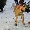 brandy (bull mastiff pup)_01