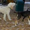 Buddy (puppy), Bradley (puppy), Otis (pup)_001