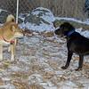 Bradley (new puppy), Holly (shiba inu)_001