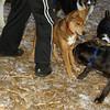 Bradley (puppy), Stack (puppy)_001
