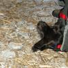 Bradley (new puppy)_003