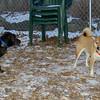 Bradley (new puppy), Holly (shiba inu)_002