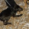 Buddy (puppy), Bradley (puppy), Otis (pup)_002