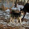 Buddy (new puppy), Harley (great dane)_002