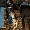 Buddy (new puppy), Harley (great dane)_007