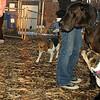 Buddy (new puppy), Harley (great dane)_012