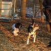 Buddy (new puppy), Harley (great dane)_008