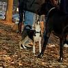 Buddy (new puppy), Harley (great dane)_006
