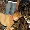 Buddy (new puppy), Harley (great dane)_010