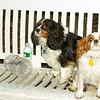 Charlie (spaniel), Polly (spaniel)_001