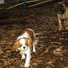 Brandy (new puppy mastiff), Polly_002