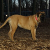 Brandy (new puppy bull mastiff girl)_001