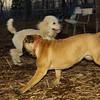 Brandy (new puppy mastiff), Snappy_001