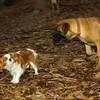 Brandy (new puppy mastiff), Polly_001