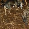 Bela (new puppy)_002