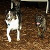 Bela (new puppy), Oreo (BC)_001