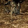 Bela (new puppy)_004