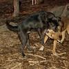 Bradley (puppy), Stack (puppy)_007
