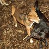 Bradley (puppy), Stack (puppy)_002