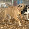 Brandy (mastiff puppy)_001