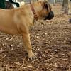 Beau ( yorkie), Brandy (puppy)_001