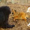 Bear (new), Charlie (pup), Roxy_001