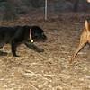 Bear (foster puppy)_001