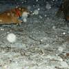 Holly (shiba inu), Kadie (new pup)