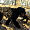 ash (portie pup), cody (wheaton pup)_04