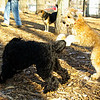 ash (portie pup), cody (wheaton pup)_03