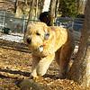 Cody (wheaton pup)_01