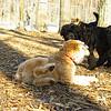 ash (portie pup), cody (wheaton pup)_02