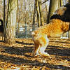 ash (portie pup), cody (wheaton pup)_01