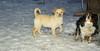 Apollo (puppy), Charlie (spaniel)_01