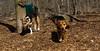Bella ( new rescue), Buddy (pup)01