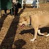Lucy (pitbull)07