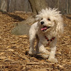 Lily (miniture poodle)08