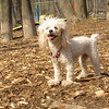 Lily (miniture poodle)04