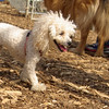 Lily (miniture poodle)06