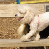 Lily (miniture poodle)01