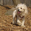 Lily (miniture poodle)03