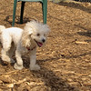 Lily (miniture poodle)05