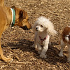 Lily (poodle), Holly (i), Polly01