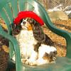 Charlie (shy spaniel) hat_20