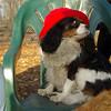 Charlie (shy spaniel) hat_16