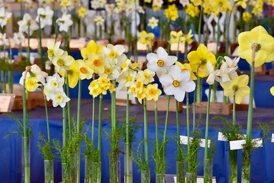 Robert L Spotts of Oakley grew these First Place award daffodils. José Quezada — For the Times-Standard