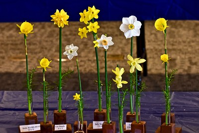 Mini-daffodils grown by Jon Kawaguchi of Alameda. José Quezada — For the Times-Standard