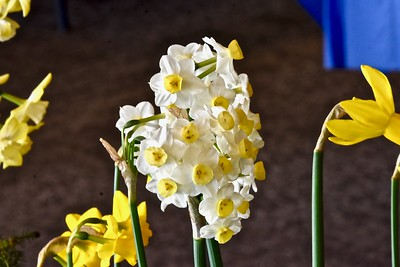 Betsy Stanfield grew these baby daffodils in Fortuna. José Quezada — For the Times-Standard