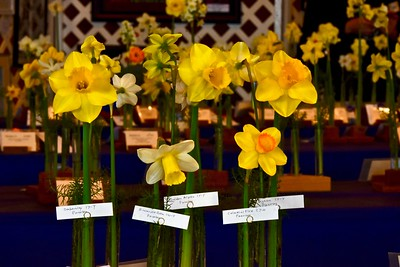 English collection of daffodils grown by Kirby W. Fong of Livermore. José Quezada — For the Times-Standard