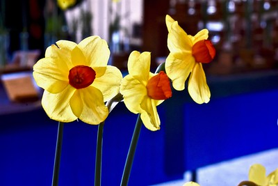 Cathy Bryant of Fortuna grew these first place daffodils. José Quezada — For the Times-Standard